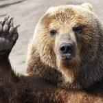 Többek közt ezért kóborol át ennyi medve Magyarországra