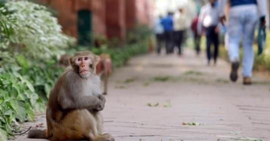 Majmok garázdálkodnak az indiai parlamentnél, óriási felfordulást okoznak