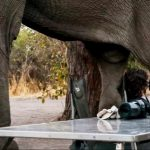 Az ország, ahol az elefántok dönthetik el a választásokat