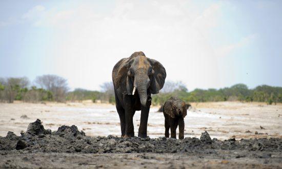 Halálra taposott egy embert egy elefánt, miután a falusiak kövekkel dobálták meg a kicsinyét