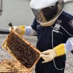Méhek lehetnek a jövő drogfelderítői