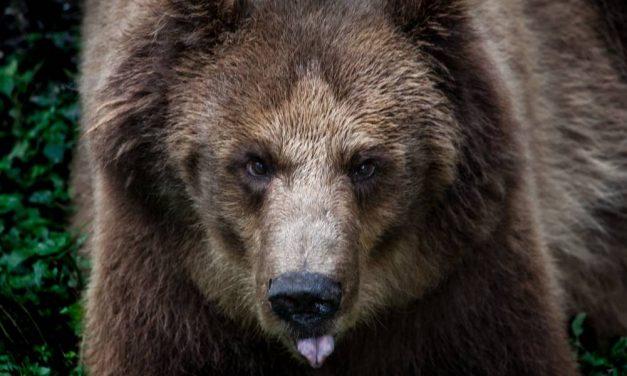 Veresegyházra költöztették a megmentett medvéket (videó)