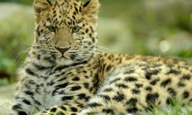 Házba betörő leopárdot fogtak el Indiában