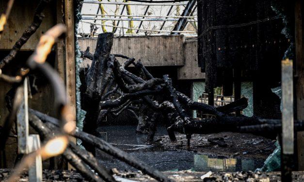 Gyógyulóban vannak a krefeldi állatkerti tűzvészt túlélt csimpánzok